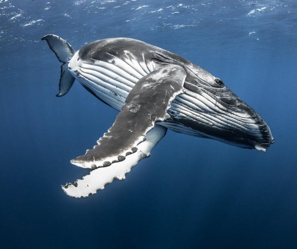 Акваторию Анапы навестили киты-полосатики